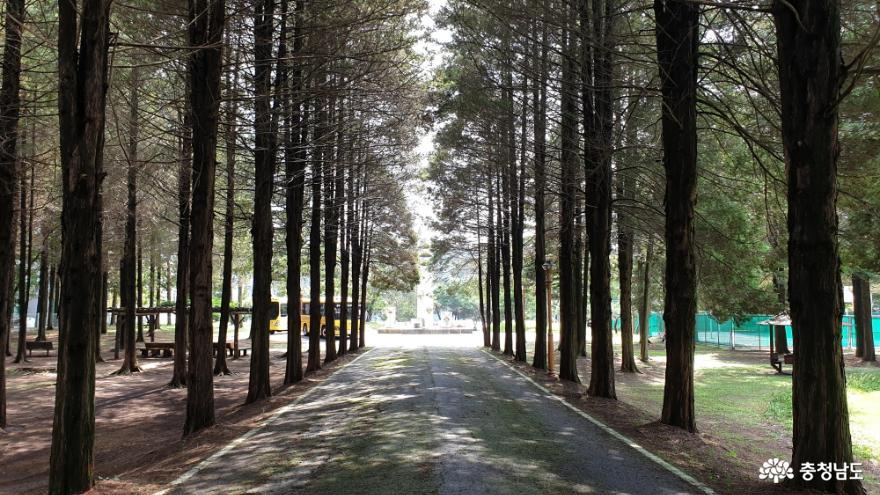 인사대 중앙 통로의 화백나무 숲
