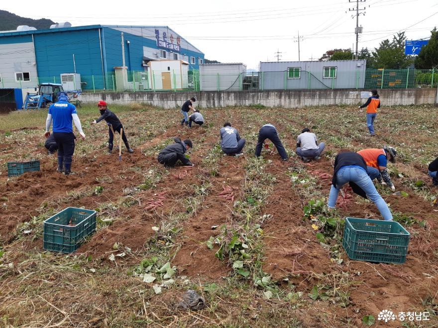 보령시 4-H연합회, 고구마 수확 및 나눔행사 펼쳐