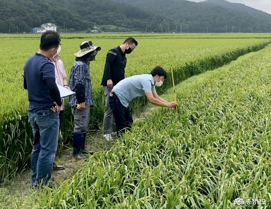 태안군, 예비비 2억 원 긴급 투입 '벼멸구 긴급약제 지원!'