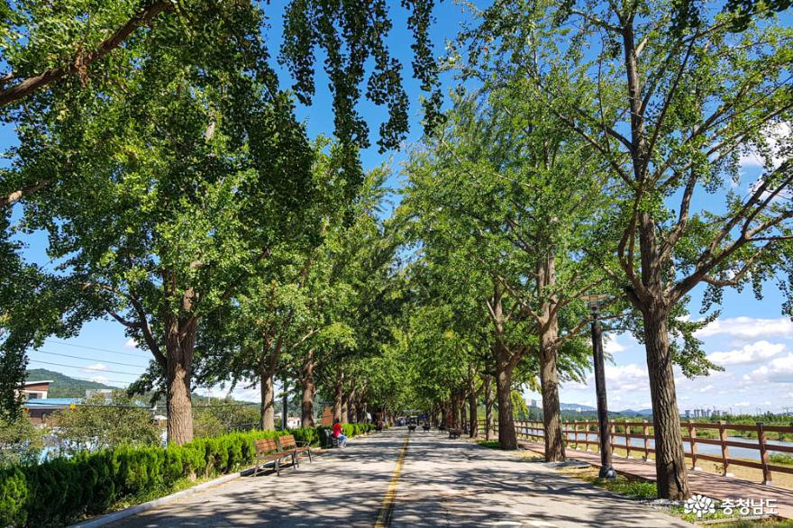 사계절 다른 풍경과 색채를 보여주는 아산 은행나무길