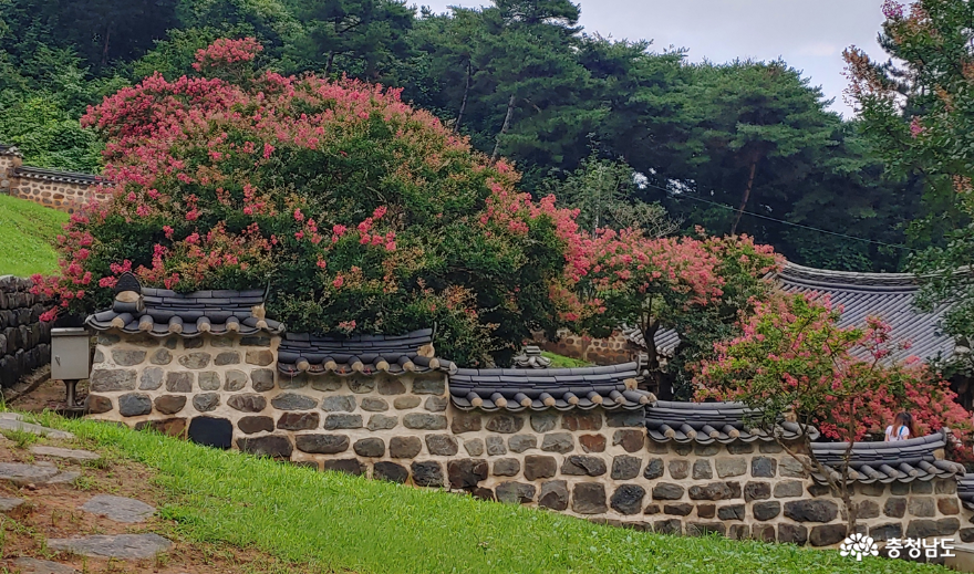 종학당 담장 안의 배롱나무 꽃