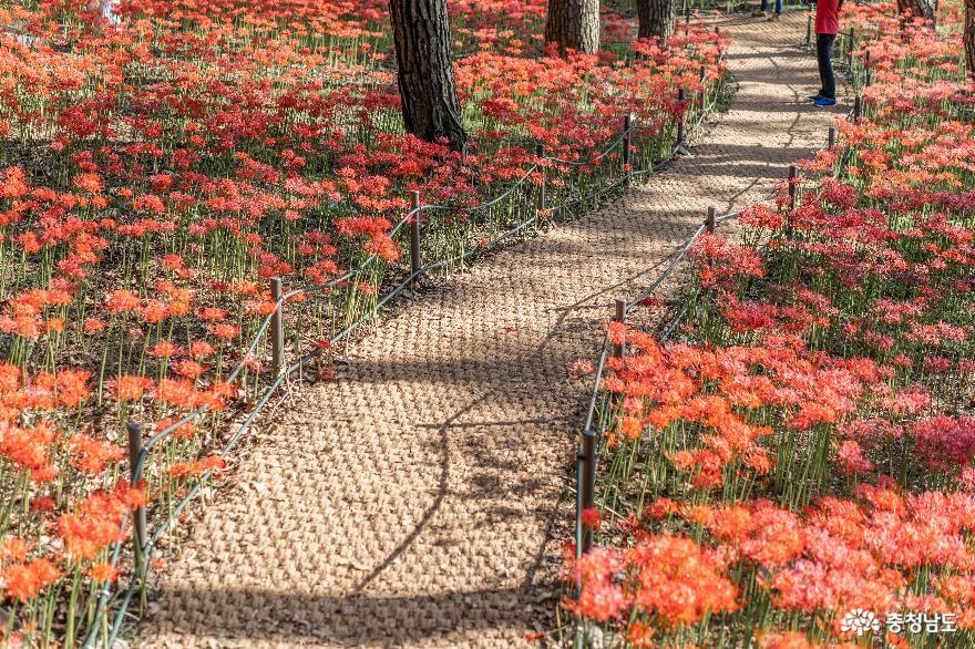 꽃무릇 만발한 성주산자연휴양림 사진