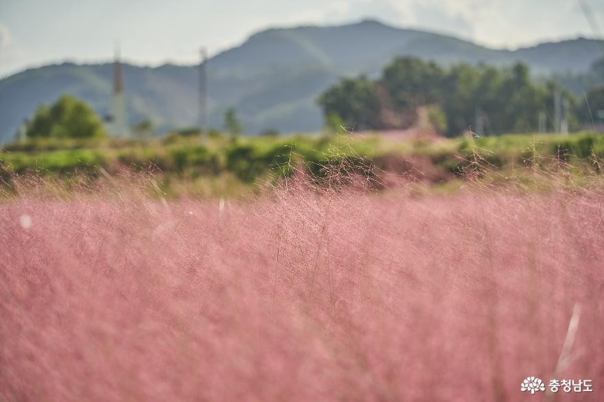 파란 가을하늘 아래 핑크뮬리가 아름다운 유구천