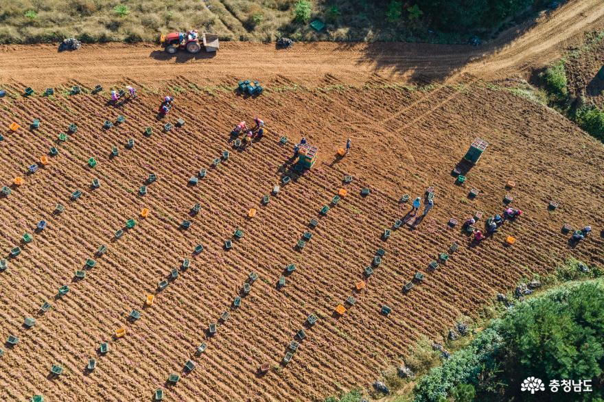 고구마 수확이 한창인 논산 상월