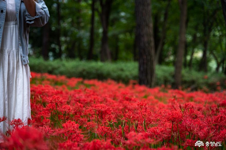 충남 보령 성주산에 붉은 물결 가득 꽃무릇이 피었어요