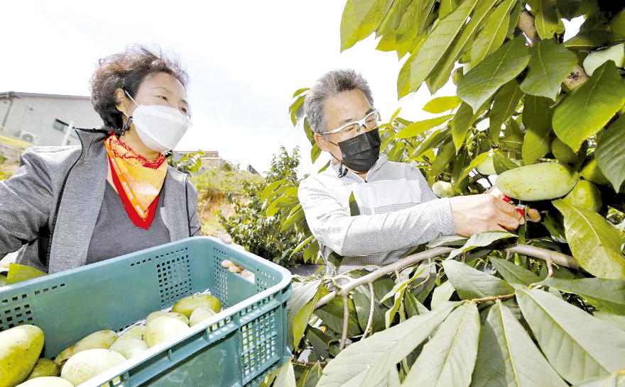 항암효과 포포나무 열매 수확