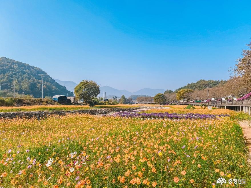 금산천 고수부지에 가을꽃이 가득