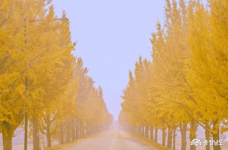 곡교천 은행나무길과 독립기념관 단풍나무숲길