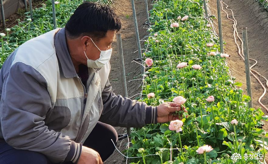 청양 양승보씨 겨울 꽃 '라넌큘러스' 재배 성공