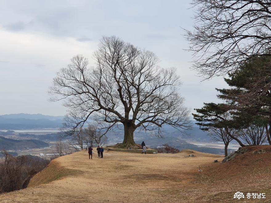 부여 여행시 꼭 들러야 할 곳 '가림성 사랑나무'
