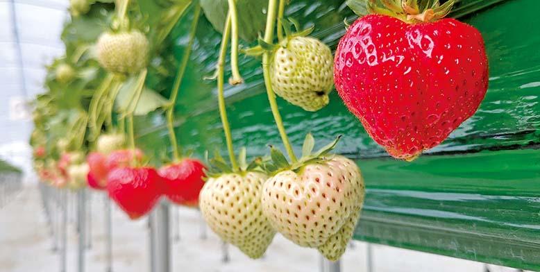 해외 주문 쇄도… 없어서 못파는 '충남 홍성 딸기'