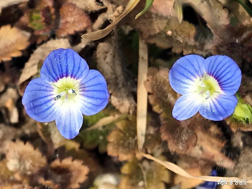 반가운 봄소식을 전하는 우리 들꽃 봄까치꽃