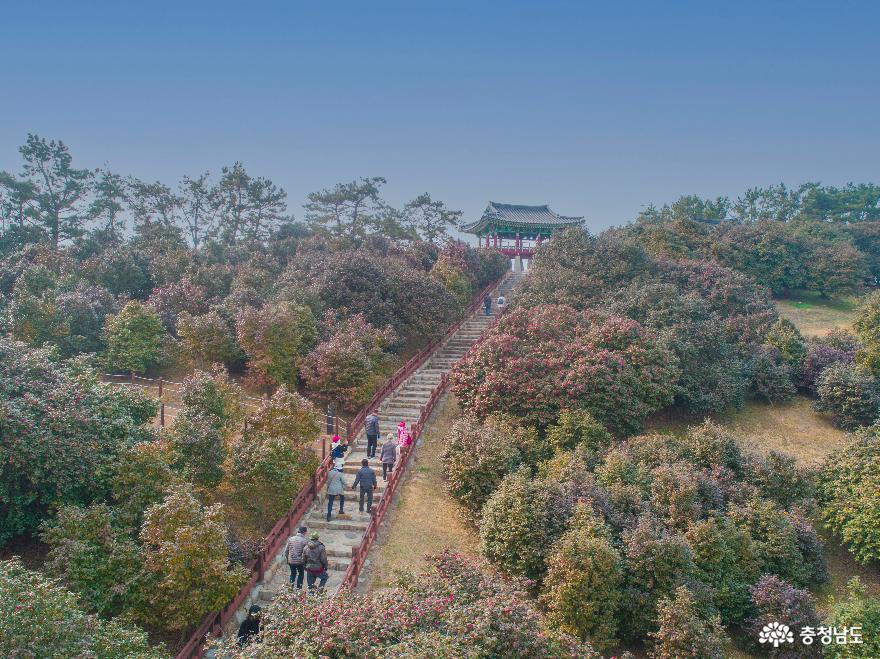 봄 알리는 서천 '마량리 동백나무숲'