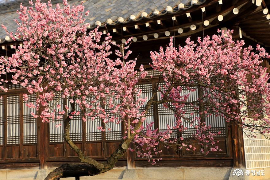 아산 현충사 충무공 옛집에서 전하는 봄의 꽃소식