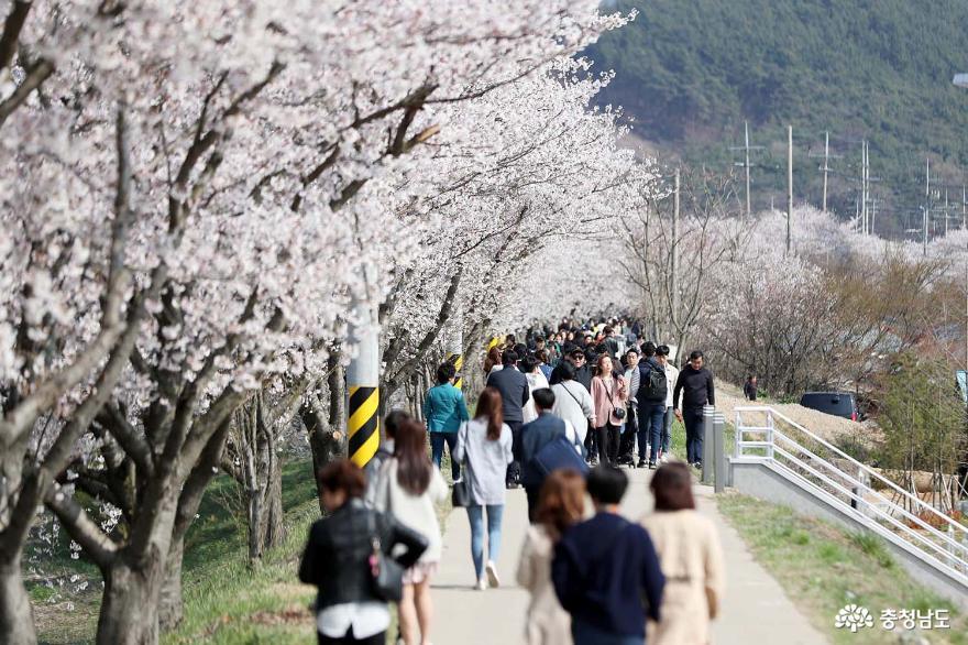 서산시 '해미벚꽃축제' 올해 취소! '벚꽃엔딩'