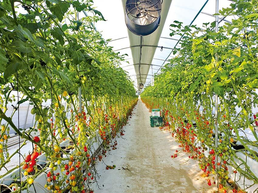 고품질 토마토 재배 주의할 점은