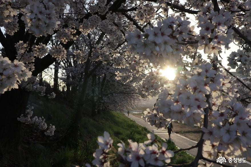 벚꽃이 흐드러지게 핀 원성천 아침풍경