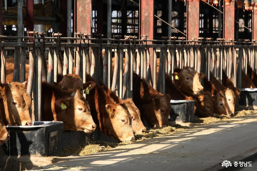 홍성군, 2021 상반기 소·염소 우제류 구제역 백신 접종