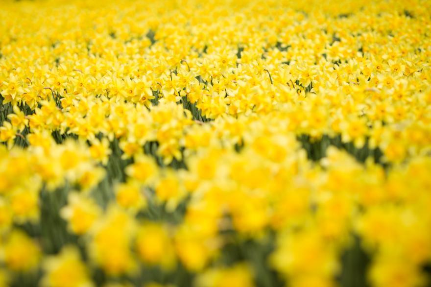 노란 별꽃의 향연 유기방 가옥