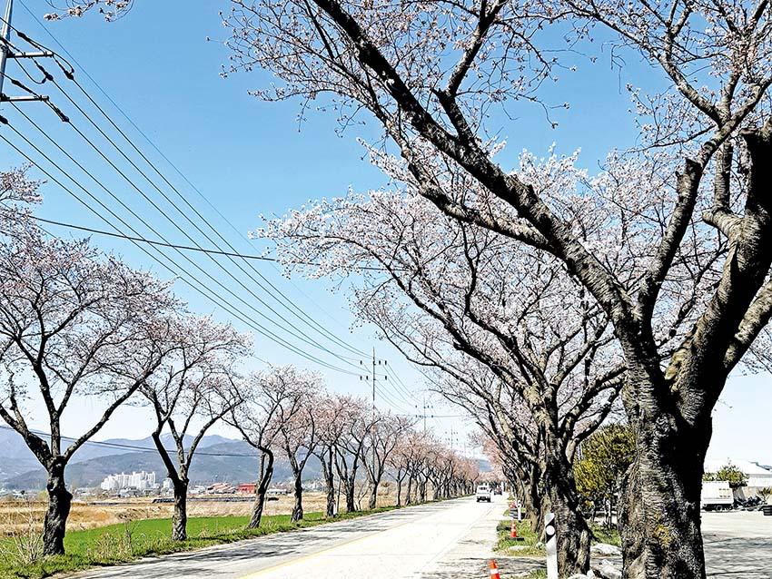 봄기운 가득 벚꽃 만개한 길