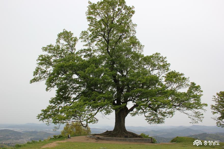 부여 사랑나무, 천연기념물 지정 대상 선정