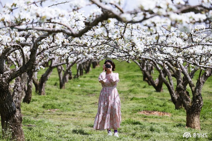 천안 제 9경 왕지봉배꽃길의 아름다운 풍경