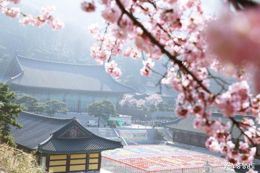 천안 각원사의 봄풍경 겹벚꽃과 수양벚꽃이 활짝 피어났네