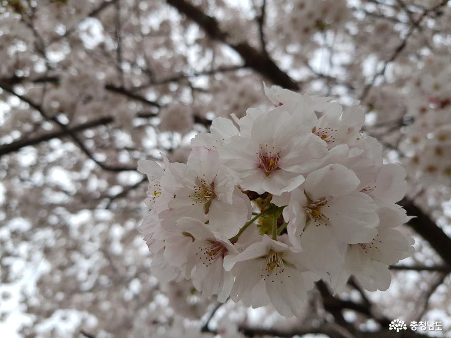 핑크 물결이 좋아요! 주산벚꽃길 드라이브스루로 다녀왔어요.