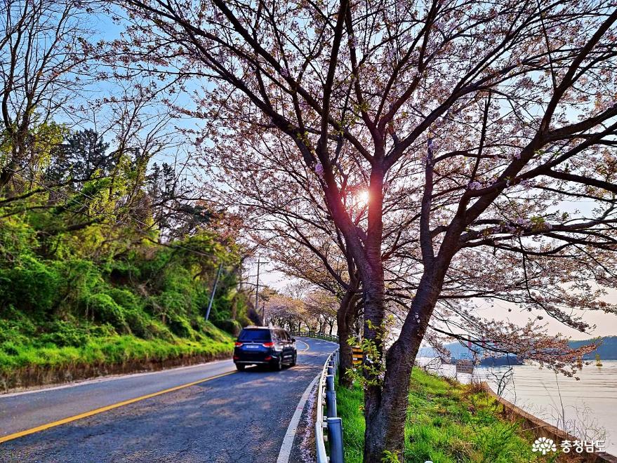 해안 벚꽃 드라이브길- 울창한 벚꽃사이로 본 바다풍경에 반하다.