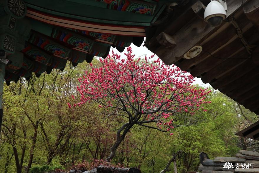 봄비 맞으며 개심사 왕벚꽃 보러 가는 날?