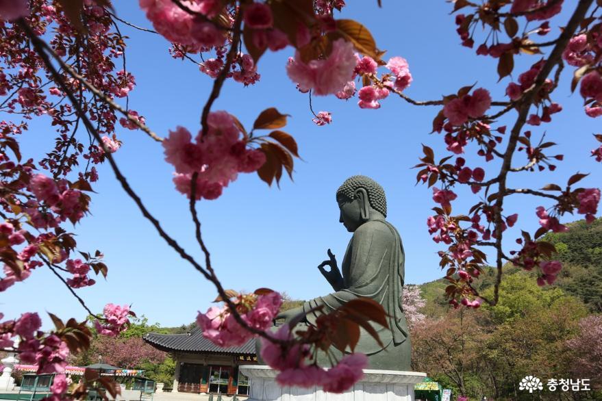 화창한 봄날, 분홍빛 겹벚꽃 가득한 각원사
