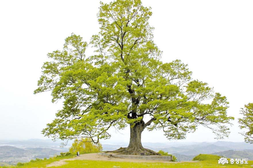 드라마 촬영지 사랑나무, 천연기념물 지정된다