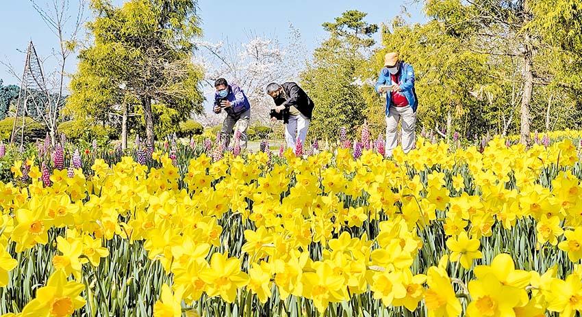 태안에 봄꽃 수선화 활짝