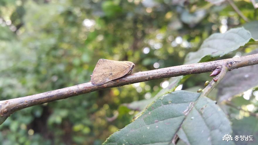 돌발해충, '갈색날개매미충' 방제적기 중요