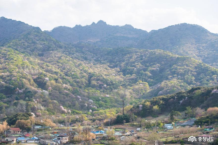 꽃피는 상신리의 봄