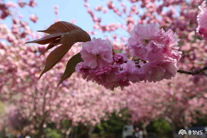 상왕산문수사 왕벚꽃이 활짝 피었습니다