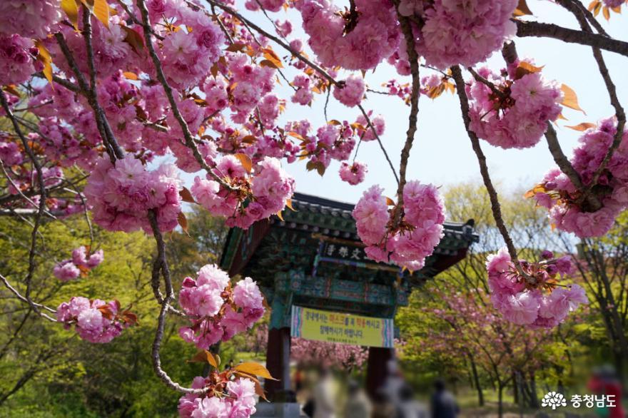 왕벚꽃 터널이 장관인 고즈넉한 사찰, 서산 문수사