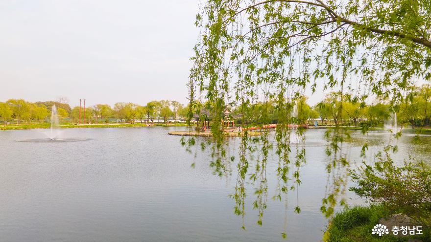초록빛 수양버들 손짓하는 부여 '궁남지의 봄'