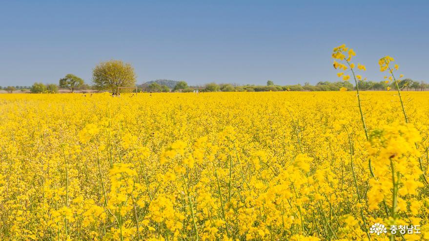 부여 '세도 유채꽃 단지'의 노란봄