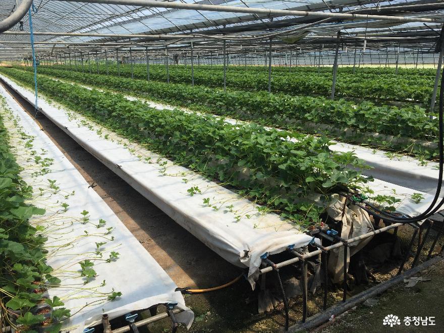 '우량 딸기묘 생산'…육묘기 집중 컨설팅 추진