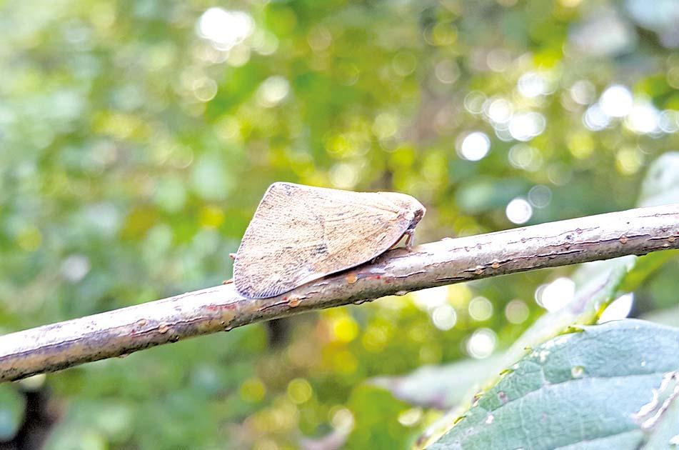 갈색날개매미충 적기방제 중요