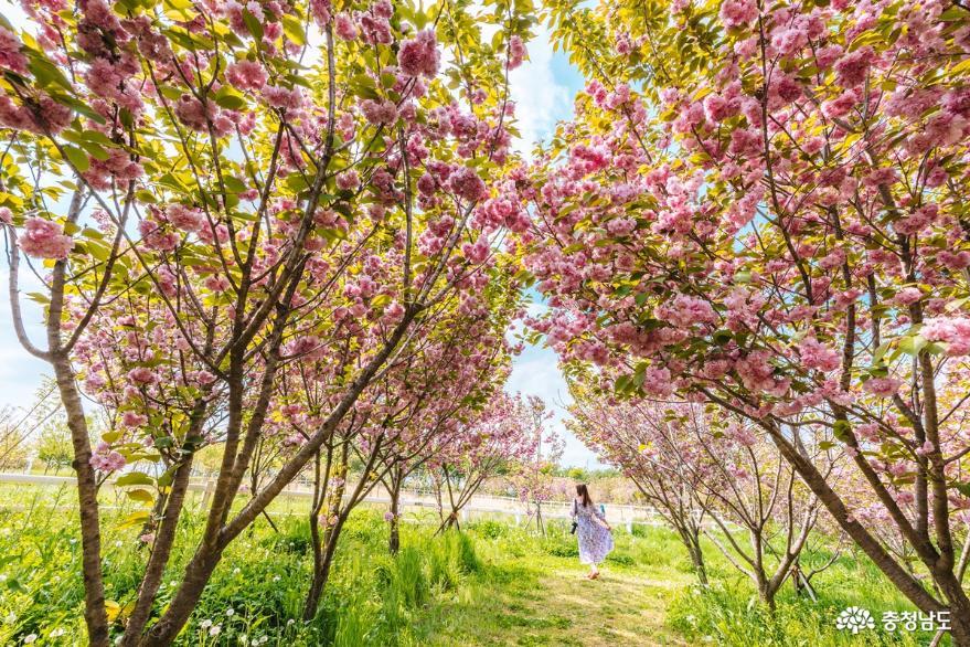 겹벚꽃, 청보리  유채꽃이 가득한 예산 아그로랜드