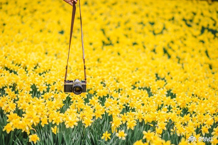 충남에서 만난 노란 봄꽃 3