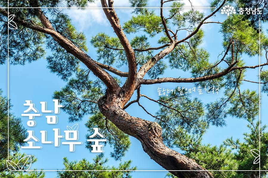 충남의 소나무 숲