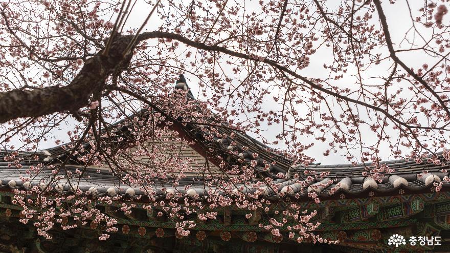[통통충남]공주의 봄꽃 풍경을 담다.