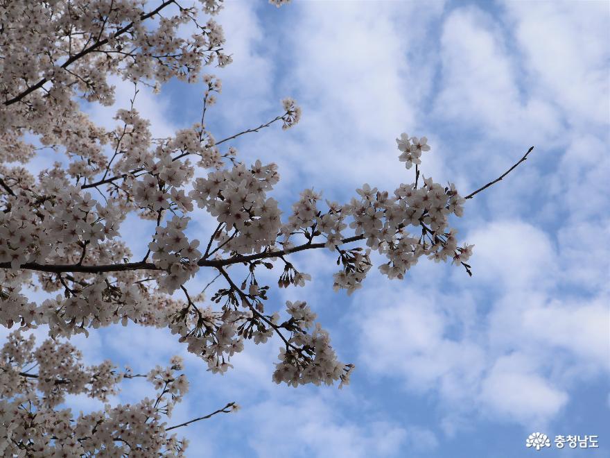 벚꽃이 화사하게 피었던 천안 원성천