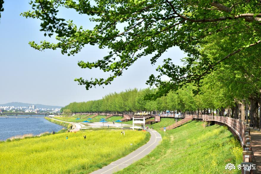 이 봄이 다 가기 전에 곡교천 은행나무길을 걸어보시라