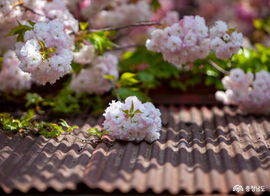 다시 보고 싶은 충남 봄꽃 베스트 12 (충남, 어디까지 가봤니?)