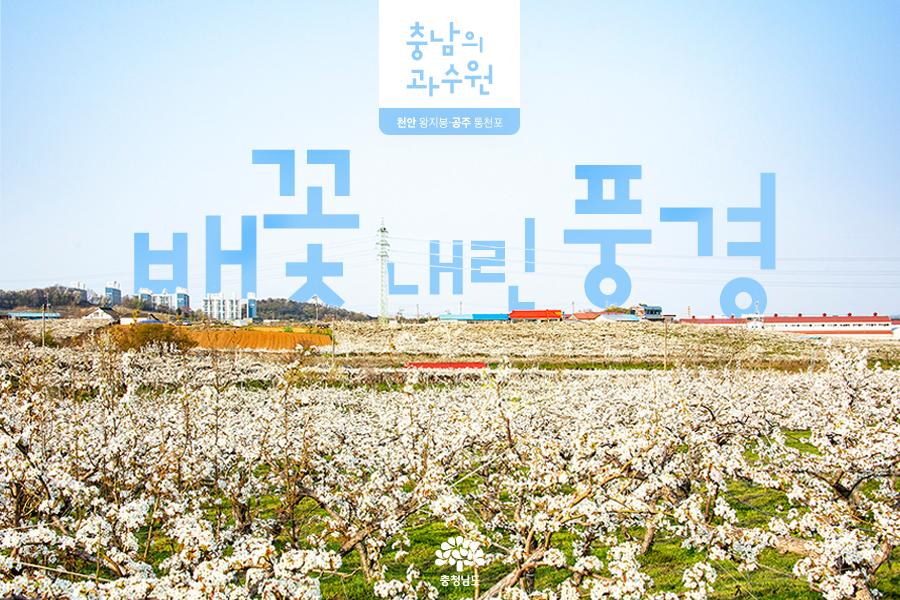 충남의 과수원 - 배꽃 내린 풍경