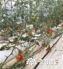 '단동 하우스 보습'… 토마토 수량증대 효과 커